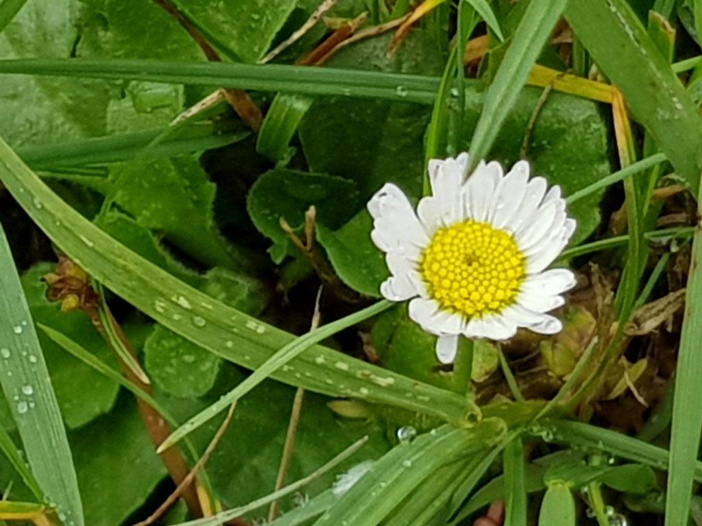 Foto: kleine Blume mit gelbem Knopf von kleinen weißen Blättern umgeben, im Gras